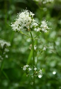 Valerian plant: the extract has traditionally been used as a remedy for sleep problems.