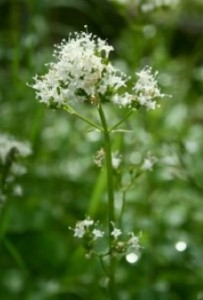 Herbal remedies like Valerian have traditionally been used as a remedy for sleep problems but there is a real lack of hard evidence about its use in schizophrenia.